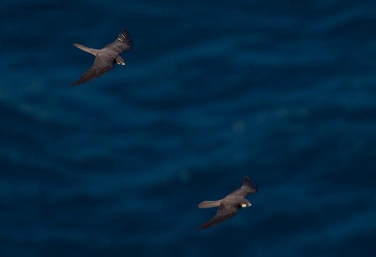 Falconiformes. sub Falconidae - sub fam Falconinae - gênero Falco 30040_UU_17653_091013_155015_1