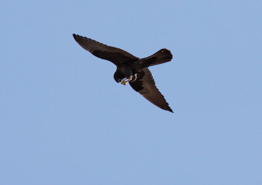 Falconiformes. sub Falconidae - sub fam Falconinae - gênero Falco 34700_UU_23701_IMG_6803b_1