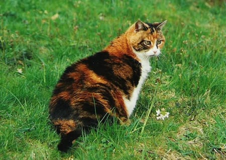 Du oder deine Haustiere als WaCa Katze! (Hilft bei langeweile!) - Seite 2 Katze%20Harlekin