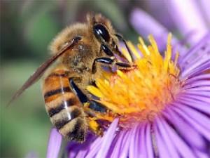 Les abeilles, témoins du bon état de notre environnement, disparaissent massivement 2012_3_11-2012_3_11_14_8_52-300x225