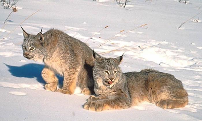 Risovi Lynx3