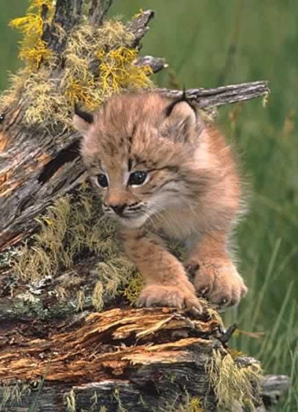 Risovi Lynx2