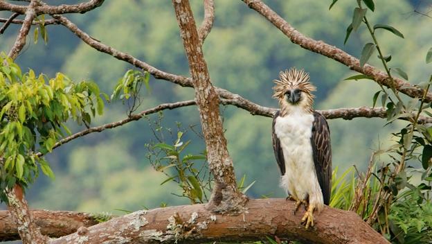 Falconiformes. Família  Acciptridae - Subfamília Buteonidade-Águias coroadas - gênero Pitecophaga jefferyi . Águia das Filipinas. Philippine-eagle