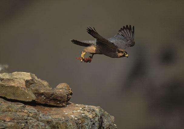 Falconiformes. sub Falconidae - sub fam Falconinae - gênero Falco 25751