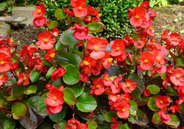 Cveće slike - Page 3 Begonija