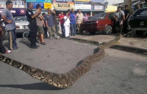 Anaconda VS Crocodilo do nilo A327f13