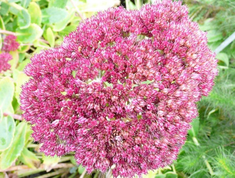 une fleur à découvrir par blucat (13juillet)trouvée par ajonc Sedum-herbstfreude-flower1