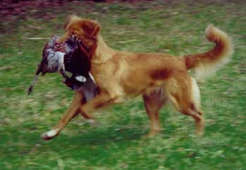Nova Scotia Duck Tolling Retriever Bichifas