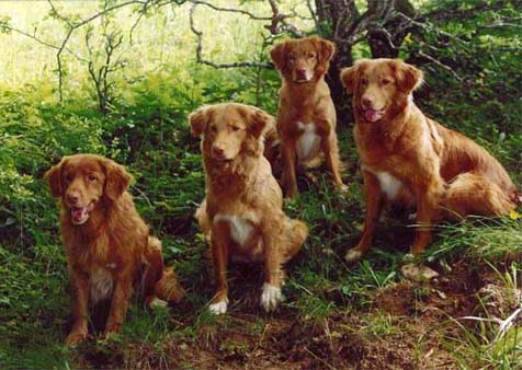 Nova Scotia Duck Tolling Retriever Gruppe