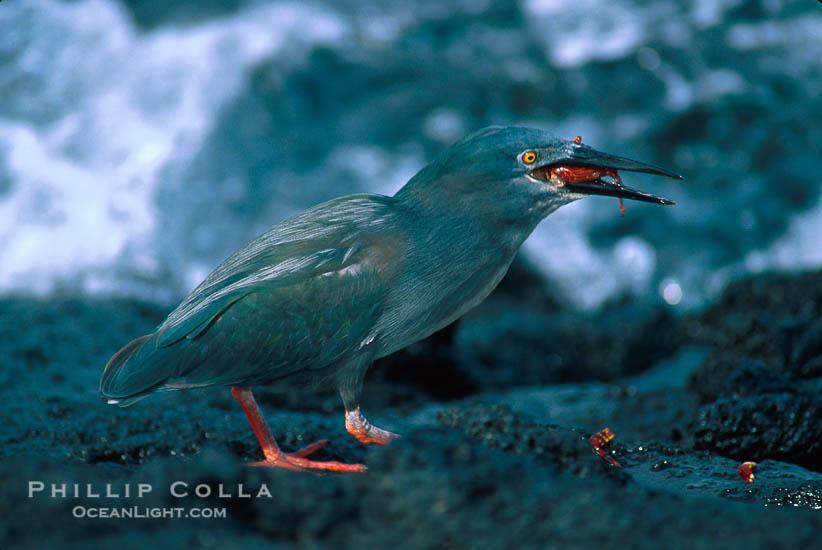 Garças do mundo Lava-heron-butorides-sundevalli-photo-02276-589002