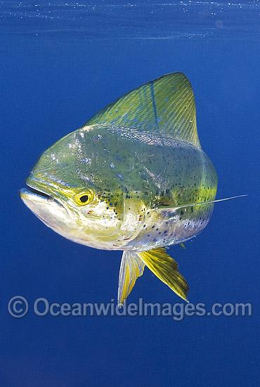 Dorado recomendaciones de equipo SHIMANO 38M1036-02-dolphinfish