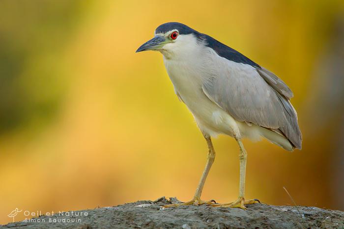 un oiseau - blucat - 19 août trouvé par ajonc - Page 2 Heron-bihoreau-web1_S-Baudouin