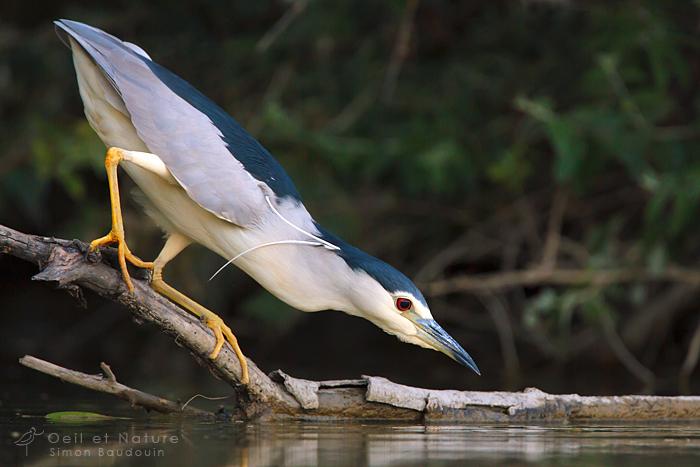 un oiseau - blucat - 19 août trouvé par ajonc - Page 2 Heron-bihoreau-web_S-Baudouin