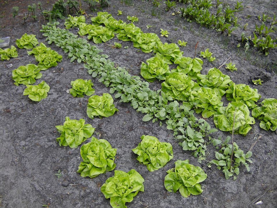 10 Fast-Growing Spring Vegetables You Can Harvest In About 30 Days Garden-pixaby