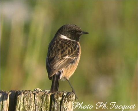 un oiseau - blucat - 19 août trouvé par ajonc Tarier-patre_PF