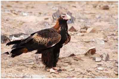 oiseau de Martine 27/11/17 trouvé par Jov Aigle-aust2
