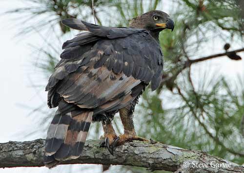 oiseau de Martine 27/11/17 trouvé par Jov Aigle-couronne-femelle-sg1