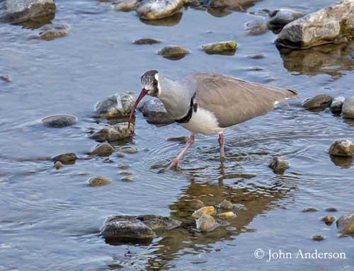 un oiseau - Ajonc - 12 octobre trouvé par Jovany Bec-ibis-tibetain-ja2