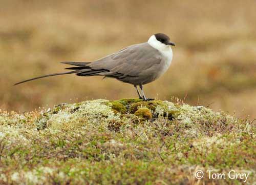 oiseau -Ajonc - 7 octobre trouvé par Martine - Page 2 Labbe-lg-queue-tg1