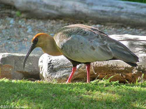 un oiseau - Ajonc - 12 octobre trouvé par Jovany Ibis-face-noire-eaj3