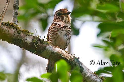 un oiseau - ajonc - 18 décembre Brachypterolle-leptosome-at2