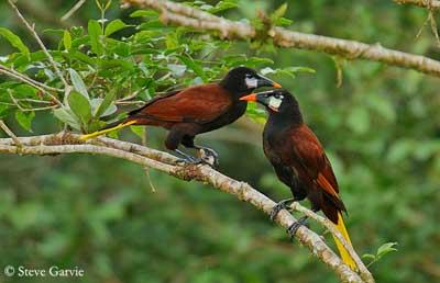Oiseau Martine 15/02/2015 trouvé par Ajonc Icterides-cassique-montz-sg