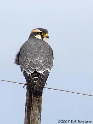 un oiseau - blucat - 19 août trouvé par ajonc Faucon-aplomado-dos-ej3