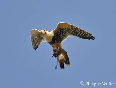 Falconiformes. sub Falconidae - sub fam Falconinae - gênero Falco Faucon-aplomado-pw1