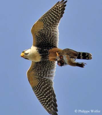Falconiformes. sub Falconidae - sub fam Falconinae - gênero Falco Faucon-aplomado-pw3