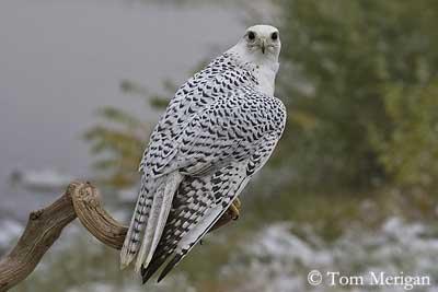 Falconiformes. sub Falconidae - sub fam Falconinae - gênero Falco - Página 3 Faucon-gerfaut-dos-tm