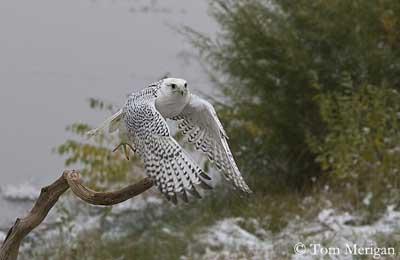 Falconiformes. sub Falconidae - sub fam Falconinae - gênero Falco - Página 3 Faucon-gerfaut-envol-tm2