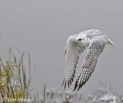 Falconiformes. sub Falconidae - sub fam Falconinae - gênero Falco - Página 3 Faucon-gerfaut-vol-tm3