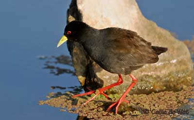oiseau N° 2 -ajonc - 7 mars trouvé par Martine Rale-bec-jaune-cw1