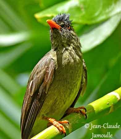 un oiseau - ajonc - 18 décembre Bulbul-merle-jcj1a