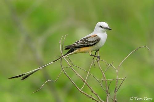 oiseau -Ajonc - 7 octobre trouvé par Martine - Page 2 Tyran-longue-queue-m3-tg