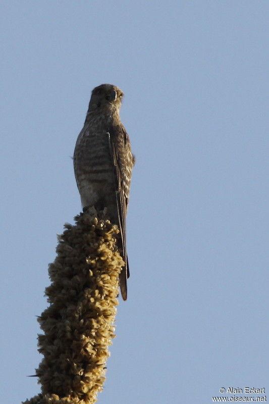 Falconiformes. sub Falconidae - sub fam Falconinae - gênero Falco - Página 3 Faucon.a.ventre.raye.alec.2g