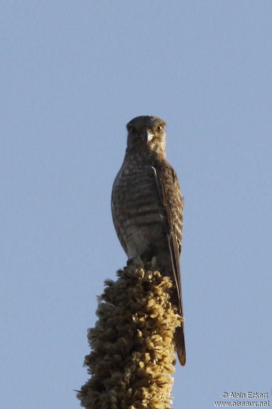 Falconiformes. sub Falconidae - sub fam Falconinae - gênero Falco - Página 3 Faucon.a.ventre.raye.alec.3g