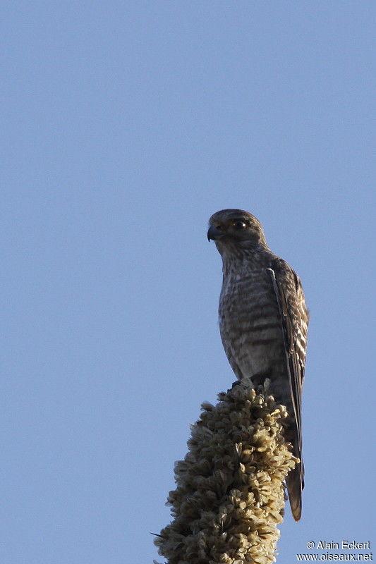 Falconiformes. sub Falconidae - sub fam Falconinae - gênero Falco - Página 3 Faucon.a.ventre.raye.alec.4g