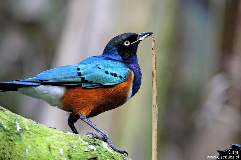 un oiseau -Ajonc - 12 novembre trouvé par Cathy Choucador.superbe.alrs.1g