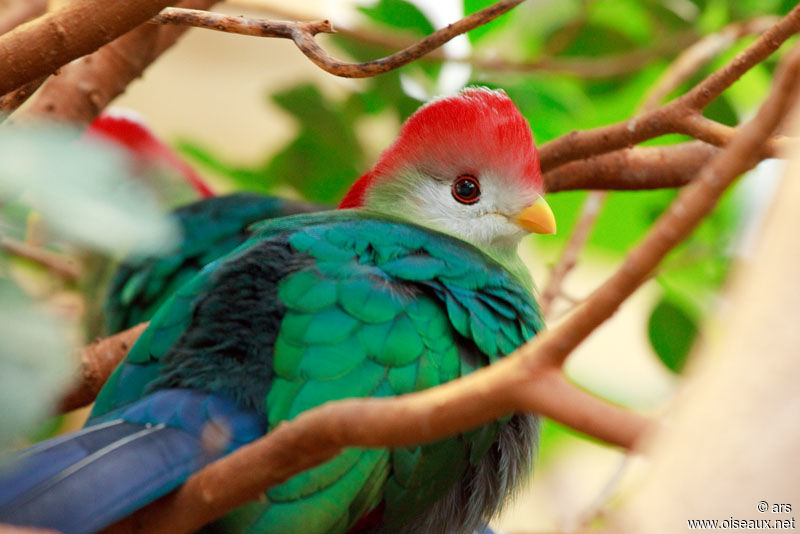 Oiseau Martine 27/08 trouvé par Ajonc et Jov Touraco.pauline.alrs.2g