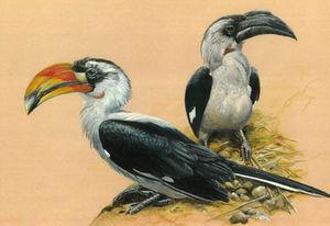 موسوعة شاملة عن طيور البوقير Calao.de.decken.bkma.0p