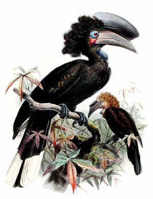 موسوعة شاملة عن طيور البوقير Calao.a.casque.noir.dage.0p