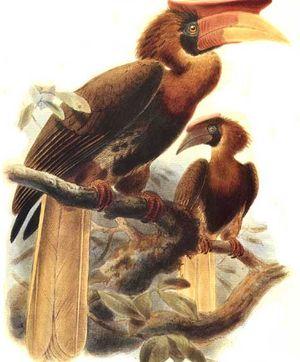 موسوعة شاملة عن طيور البوقير Calao.a.casque.plat.dage.0p
