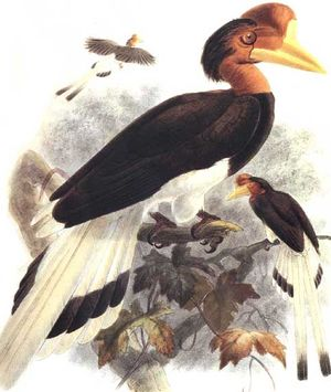 موسوعة شاملة عن طيور البوقير Calao.a.casque.rond.dage.0p