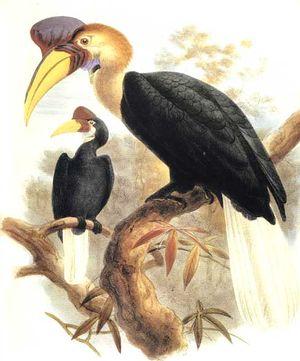 موسوعة شاملة عن طيور البوقير Calao.a.cimier.dage.0p