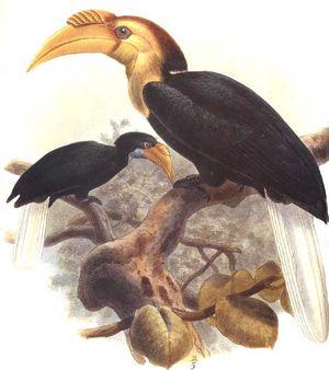 موسوعة شاملة عن طائر البوقير و أنواعه الجزء 3 Calao.a.gorge.claire.dage.0p