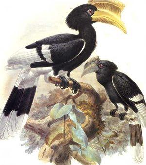 موسوعة شاملة عن طيور البوقير Calao.a.joues.brunes.dage.0p