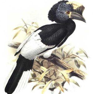 موسوعة شاملة عن طيور البوقير Calao.a.joues.grises.dage.0p