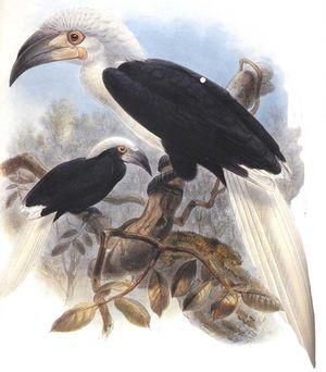 موسوعة شاملة عن طيور البوقير Calao.coiffe.dage.0p