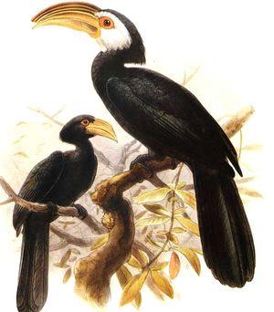 طائر البوقير سيليبز ( Penelopides exarhatus Calao.des.celebes.dage.0p